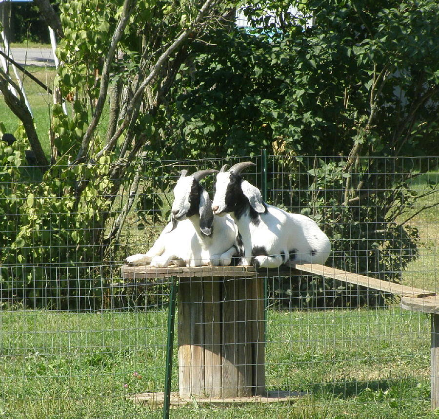 Animals Photograph - Goats Dreaming Of Trouble by Jeanette Oberholtzer