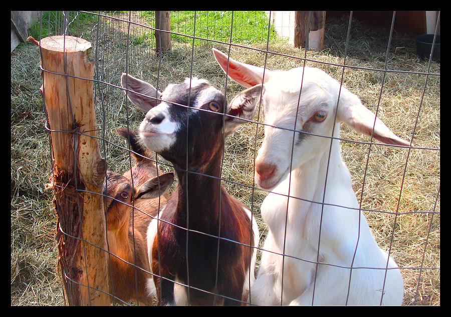White Goat Photograph - Goats by Felipe Adan Lerma