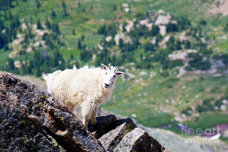 Goats On The Mount Massive Summit Photograph