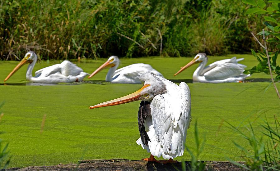 Pelican Photograph - Going Green by Robert Kenny