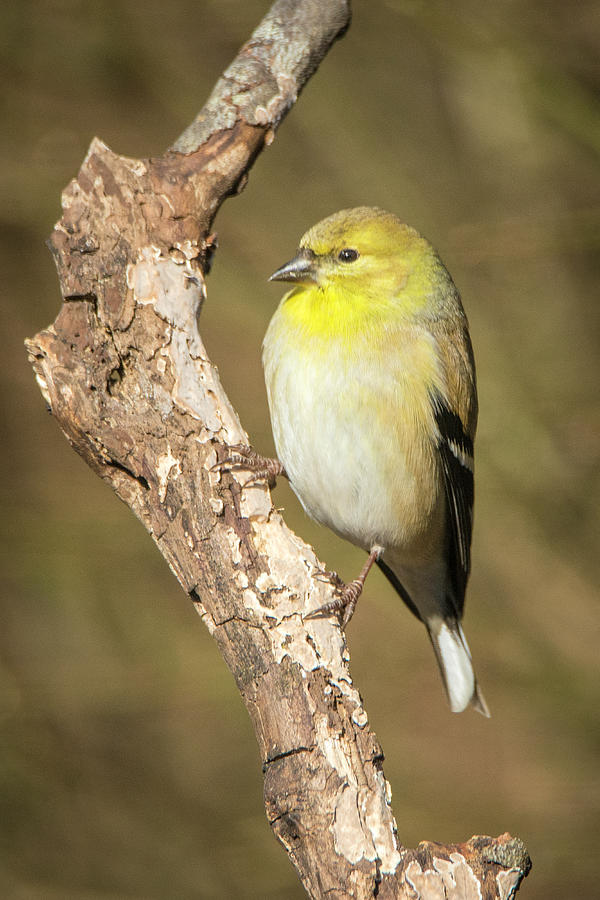 Gold Finch by David Waldrop