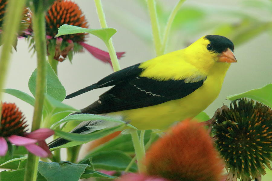 Gold Finch In Coneflower Field Photograph