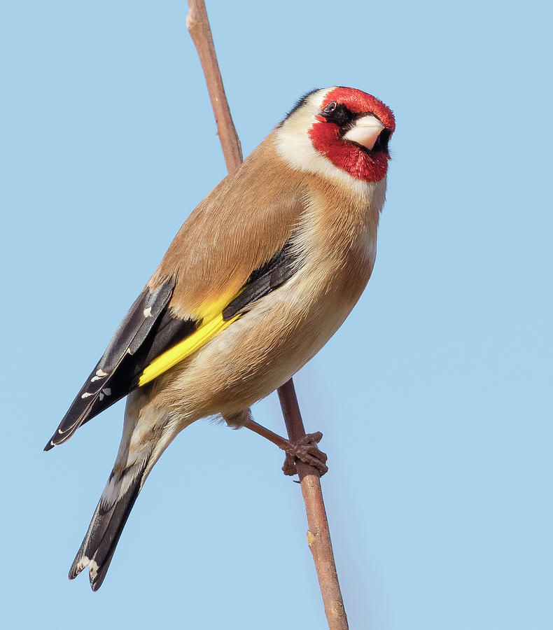 Gold Finch Photograph - Gold Finch by Roy McPeak