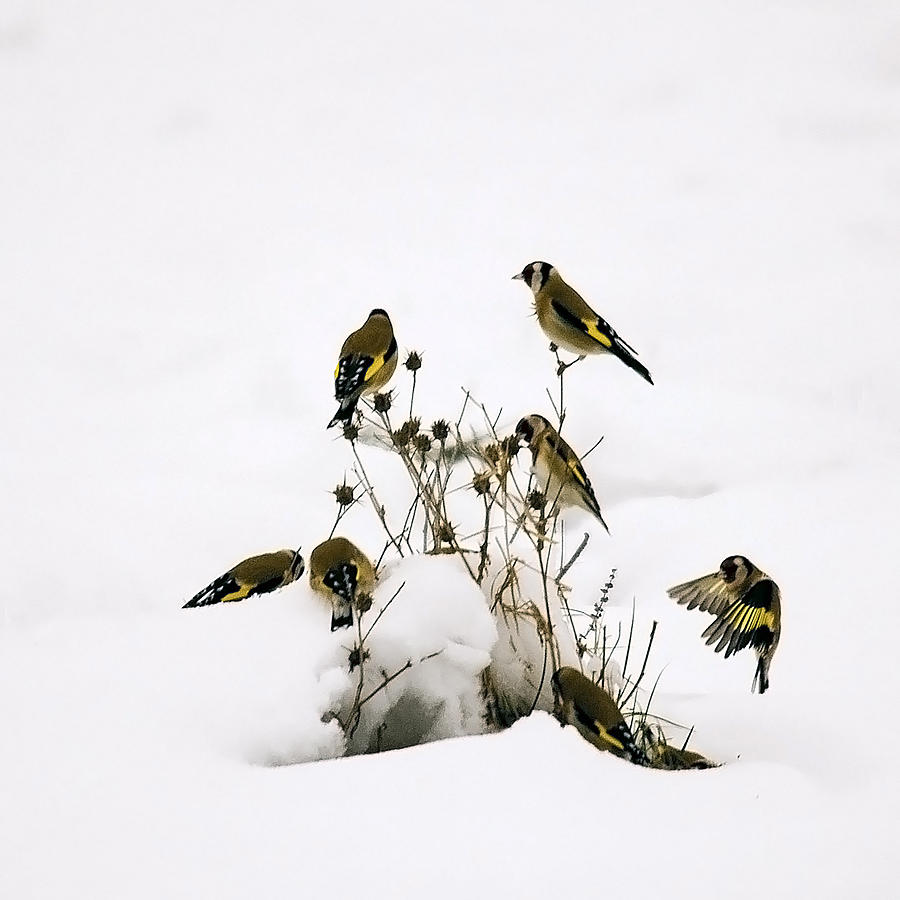 Goldfinches Photograph - Gold Finches In Snow by Cliff Norton