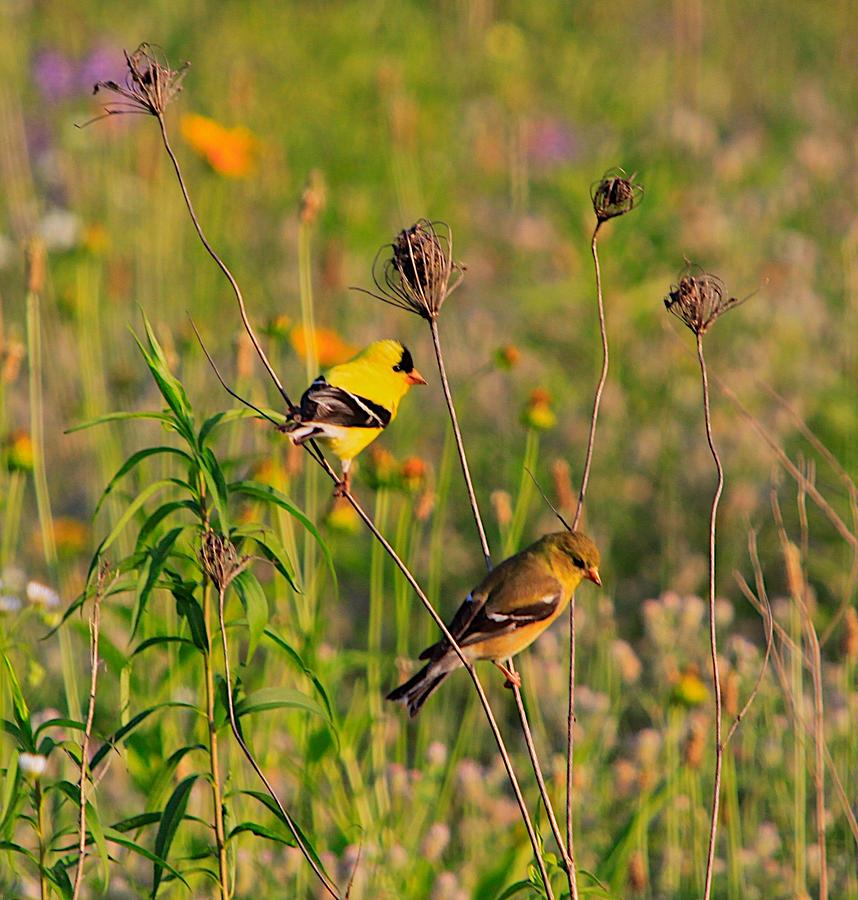 Gold Finch Photograph - Gold Finches by Robert Pearson