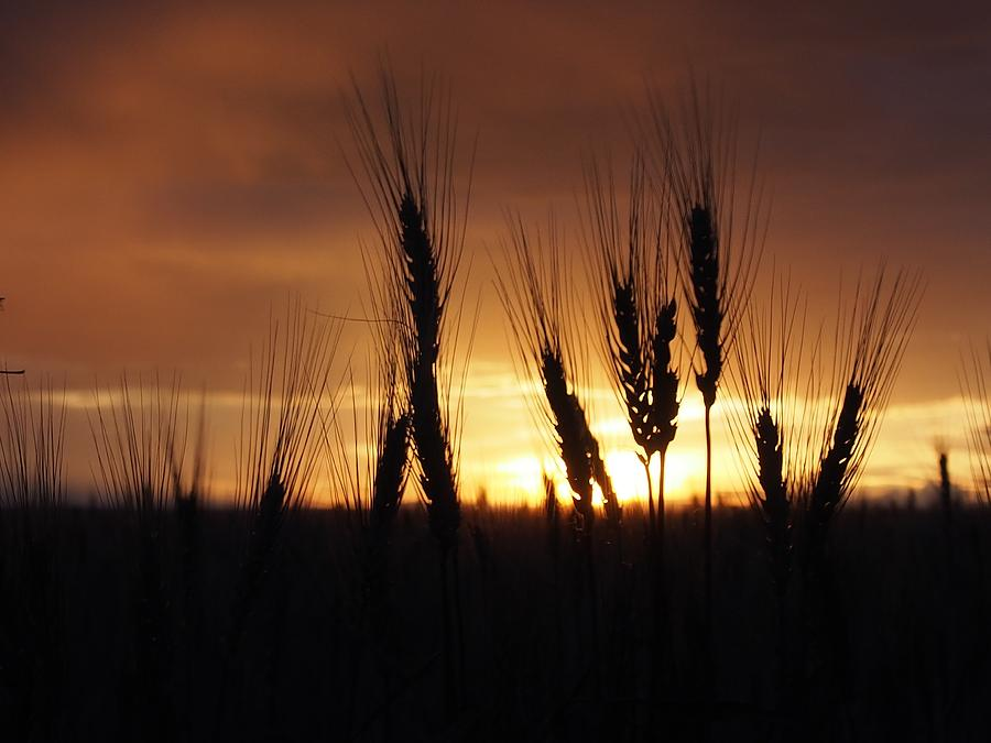 Winter Wheat Photograph - Gold by Kayla Hall