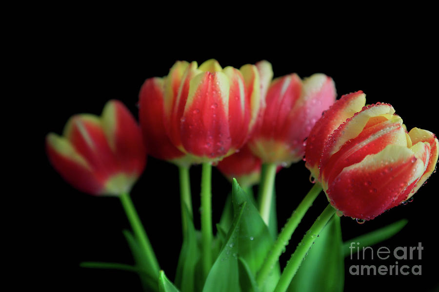 Tulips Photograph - Gold Tip Tulips by Tracy Hall