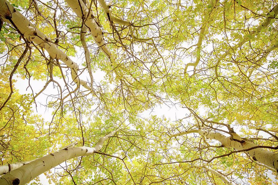 Golden Aspen Forest Canopy Photograph