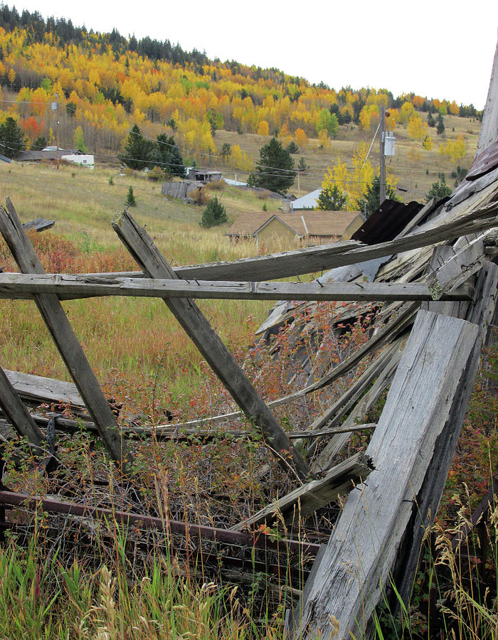 Golden Aspens Beyond A Fallen Cabin by Julia L Wright