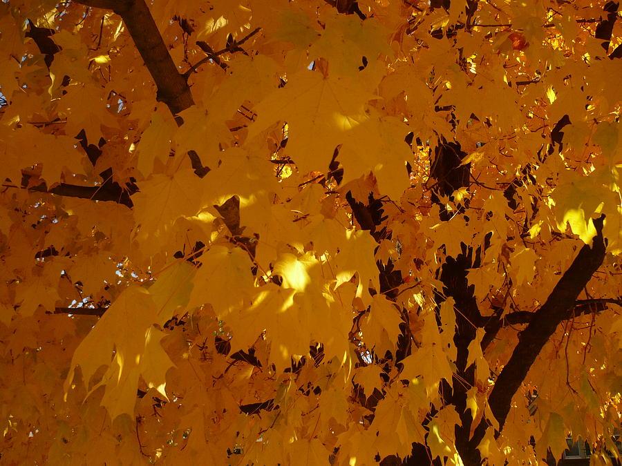 Trees Photograph - Golden Autumn by Stephen Davis
