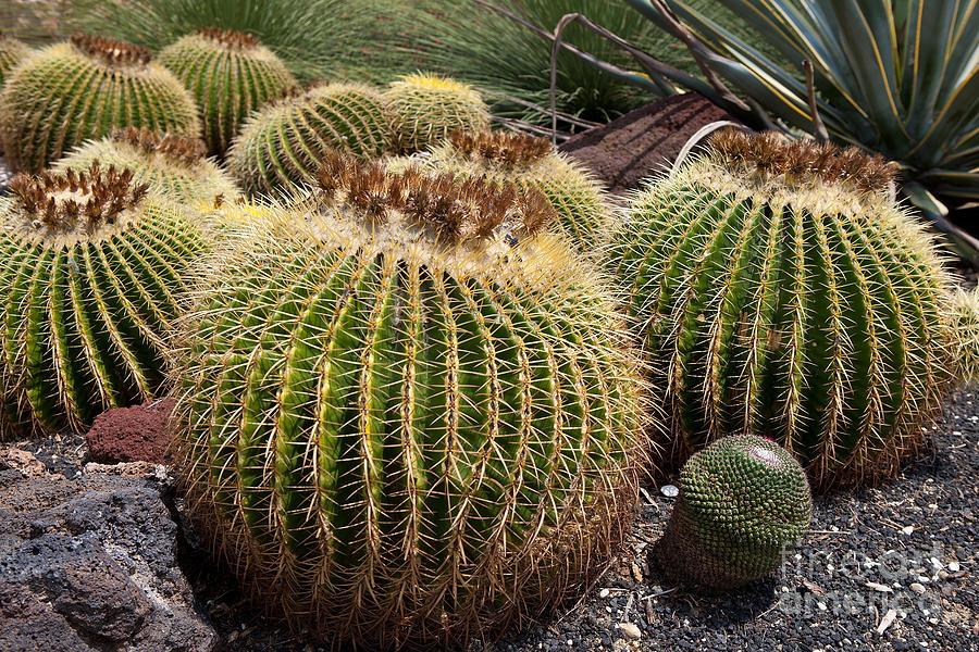 Golden Barrel Cactus Photograph