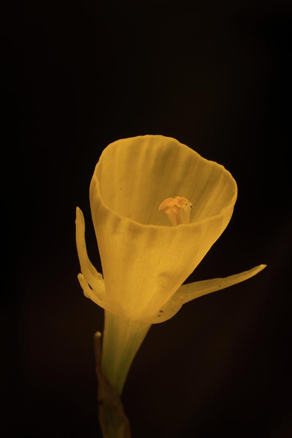 Golden Photograph - Golden Bells Carpet Daffodil With Black Background by Douglas Barnett