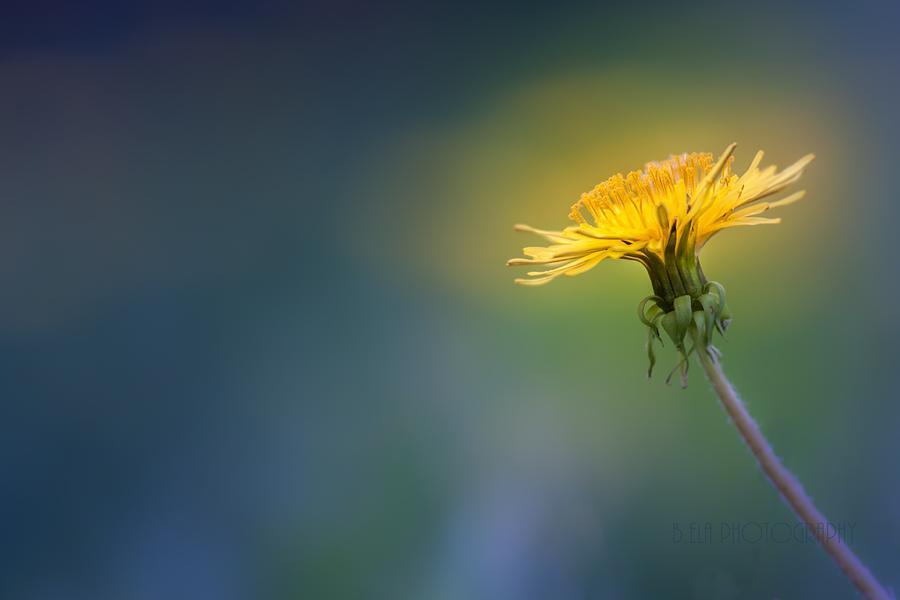 Flower Photograph - Golden  by Bulik Elena