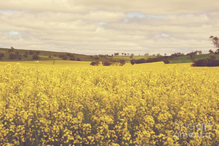 Golden Canola Field Photograph