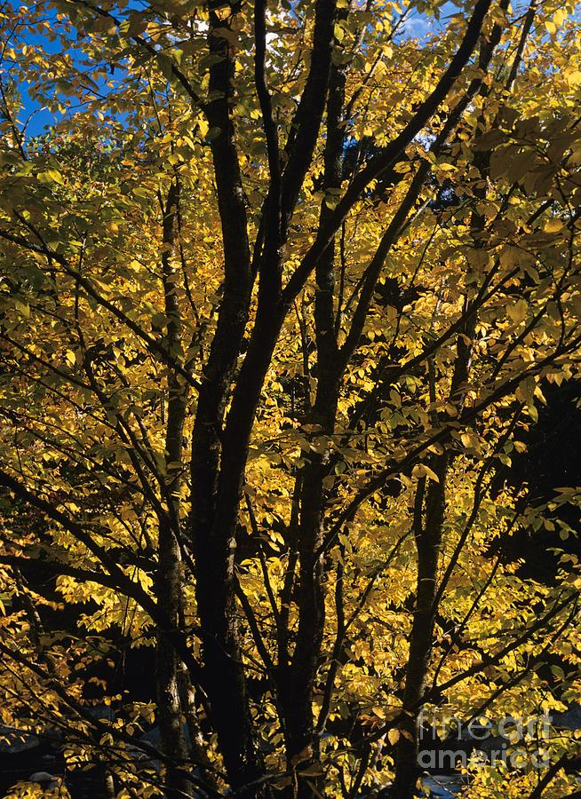 Autumn Photograph - Golden Colors Of Autumn In New England  by Erin Paul Donovan