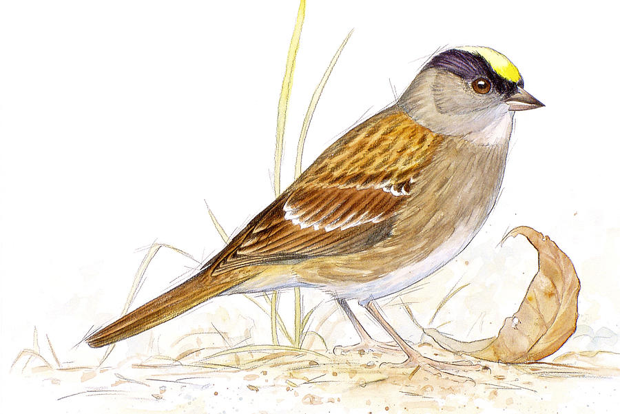 Bird Painting - Golden-crowned Sparrow by Shari Erickson