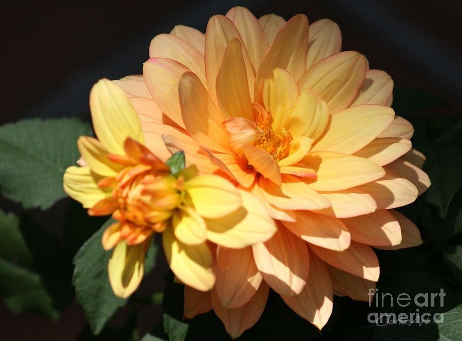 Floral Photograph - Golden Dahlia With Bud by Jean Clarke