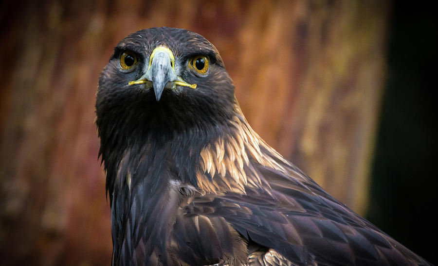 Birds Photograph - Golden Eagle 1 by Jason Brooks