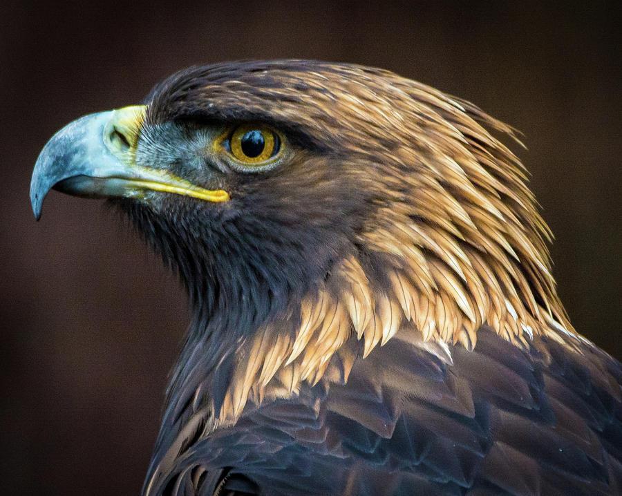 Eagles Photograph - Golden Eagle 2 by Jason Brooks