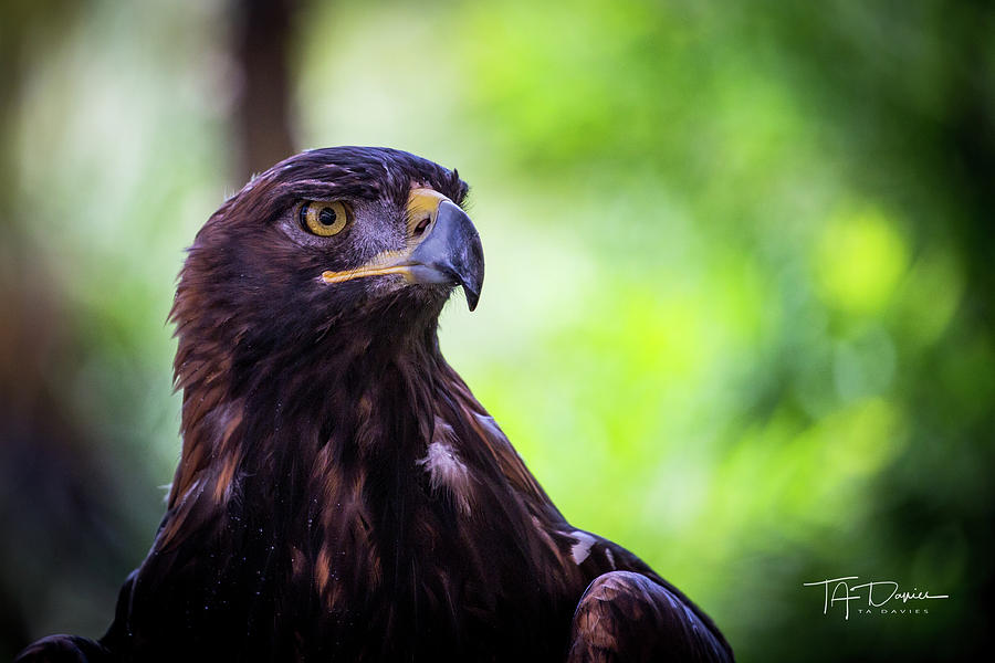Golden Eagle 2 by T A Davies