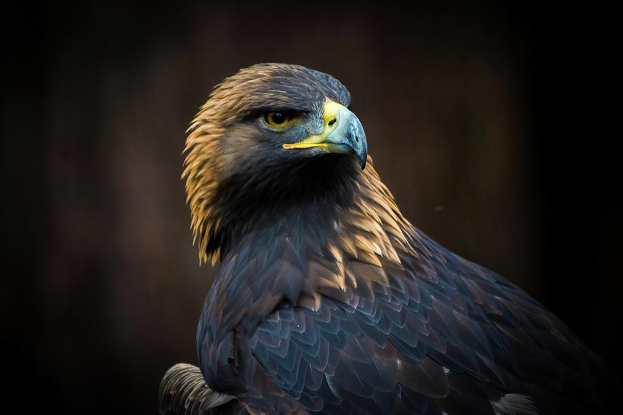 Eagle Photograph - Golden Eagle 3 by Jason Brooks