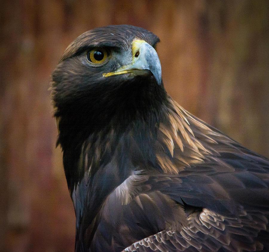 Eagle Photograph - Golden Eagle 4 by Jason Brooks