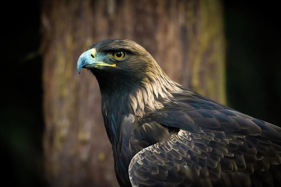 Eagle Photograph - Golden Eagle 5 by Jason Brooks