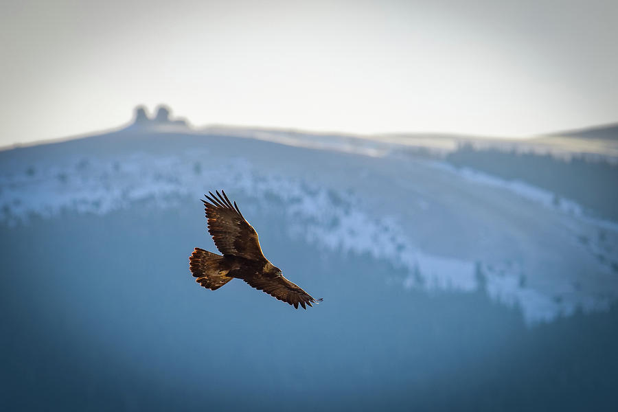 Eagle Photograph - Golden Eagle Fly By by Bill Sincavage