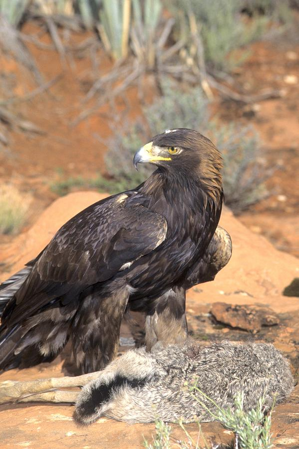 Wildlife Photograph - Golden Eagle On Rabbit by Larry Allan