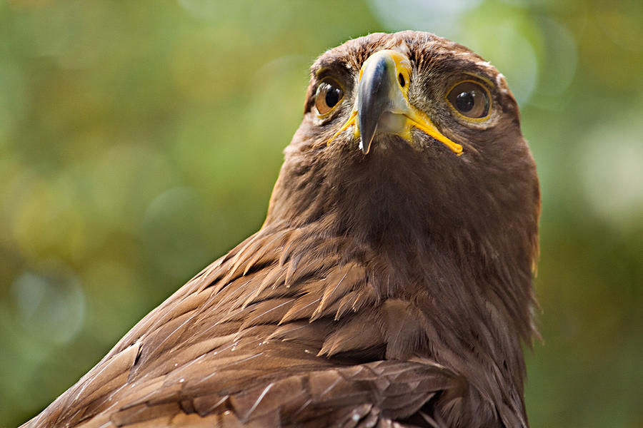 Bird Photograph - Golden Eagle Portrait by Peter J Sucy