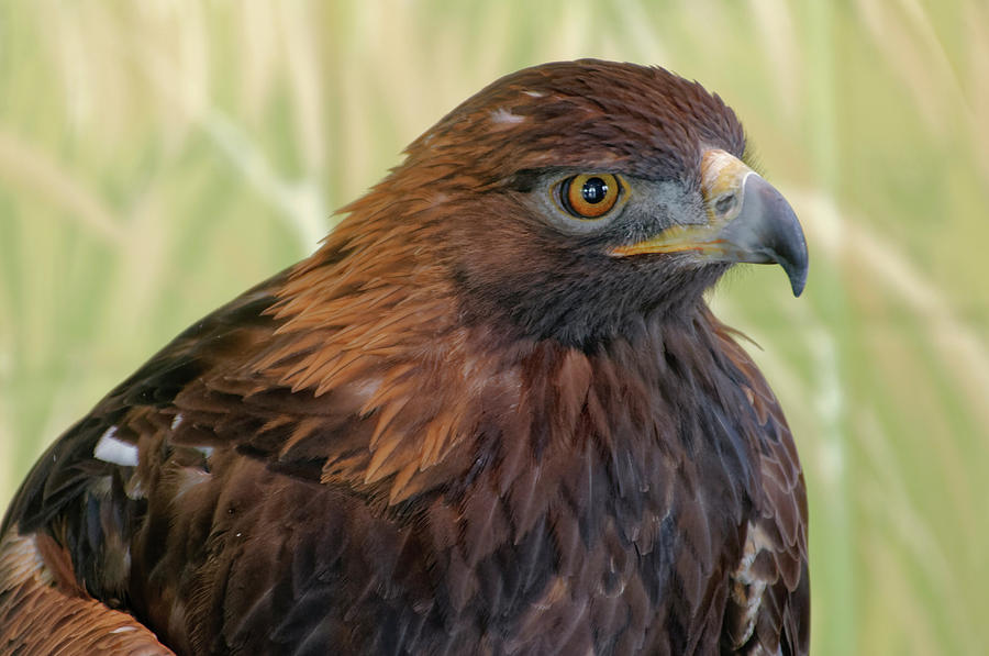 Golden Eagle Portrait by Roderick Bley