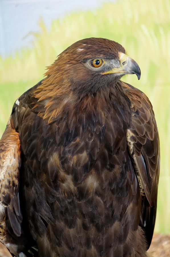 Golden Eagle by Roderick Bley