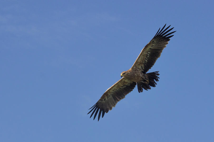 Golden Eagle Soaring by Brenda Smith DVM