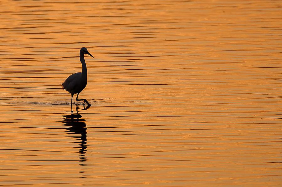 Golden Egret Photograph