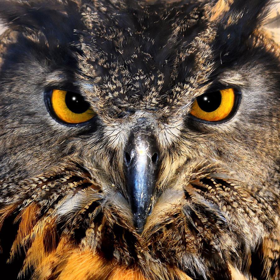Golden Eyes - Great Horned Owl by KJ Swan