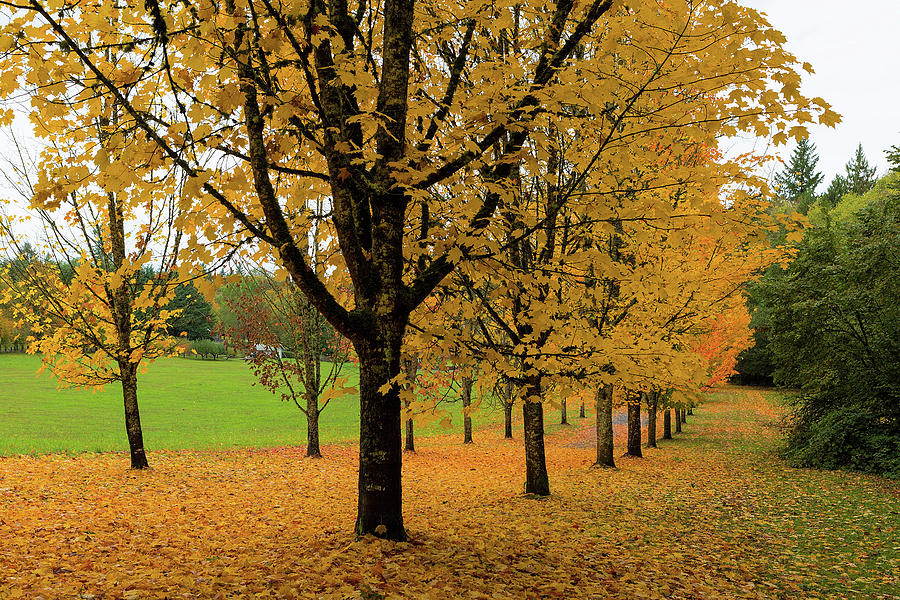 Golden Fall Colors On Maple Trees Photograph