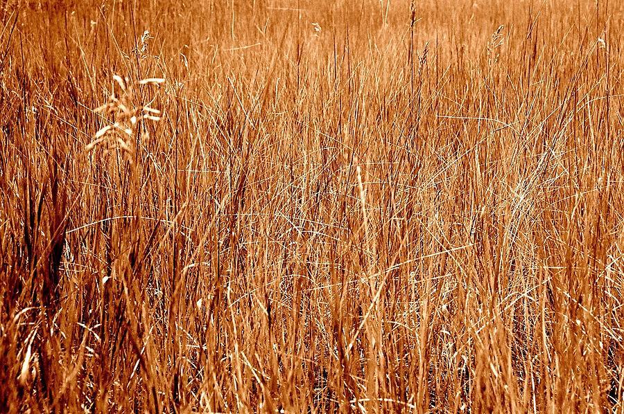 Field Photograph - Golden Field by Caroline Clark