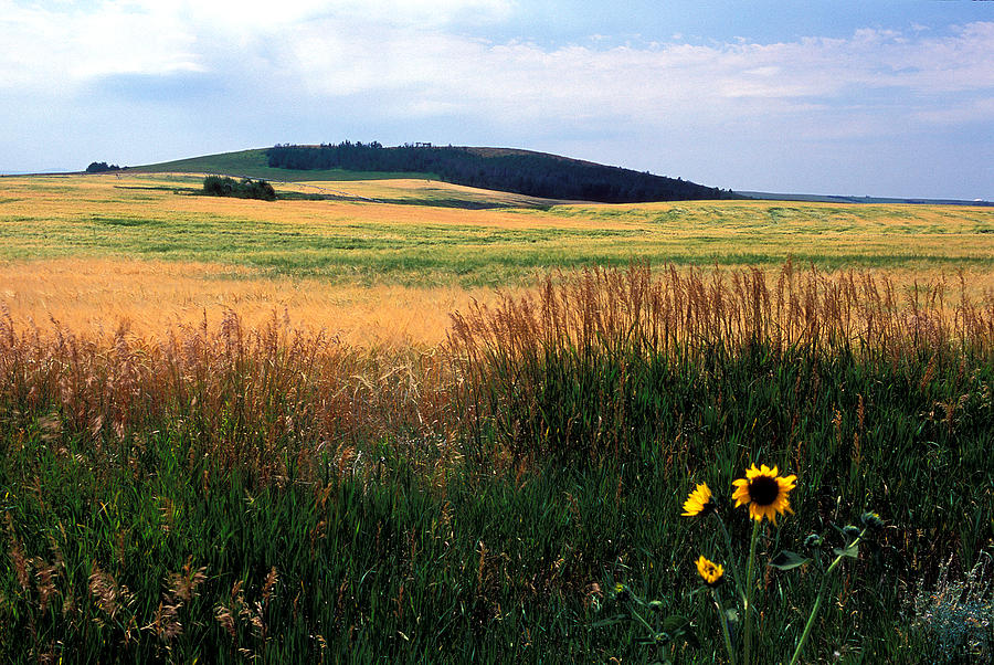 Landscapes Photograph - Golden Fields Forever by Kathy Yates