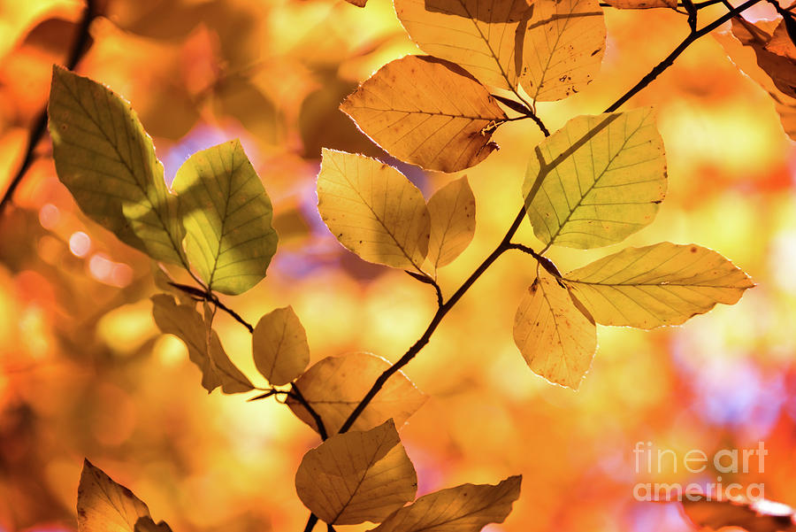 Autumn Photograph - Golden Foliage by Delphimages Photo Creations