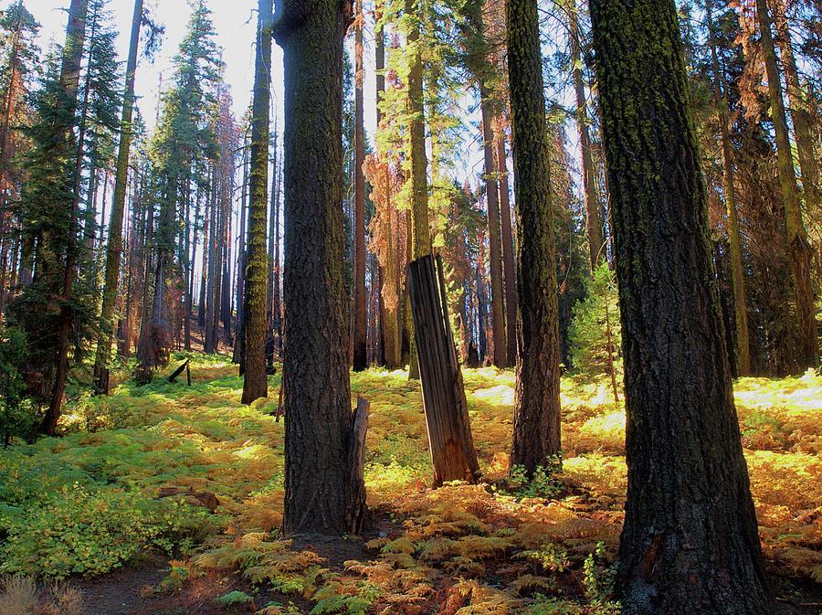 Yosemite Photograph - Golden Forest Bed by Scott Fracasso