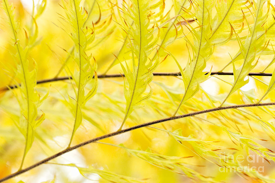 Botanic Gardens Photograph - Golden Fronds of Tropical Ferns by Marilyn Cornwell