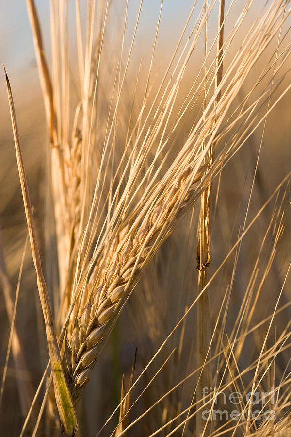 Agriculture Photograph - Golden Grain by Cindy Singleton