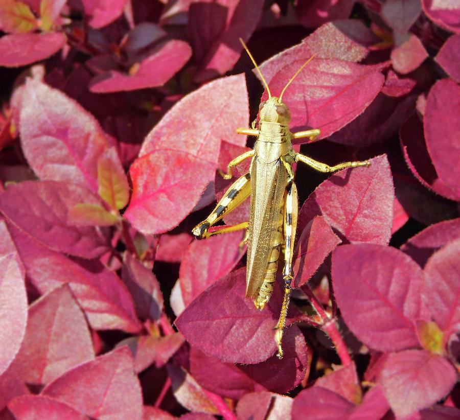 Golden Grasshopper Photograph