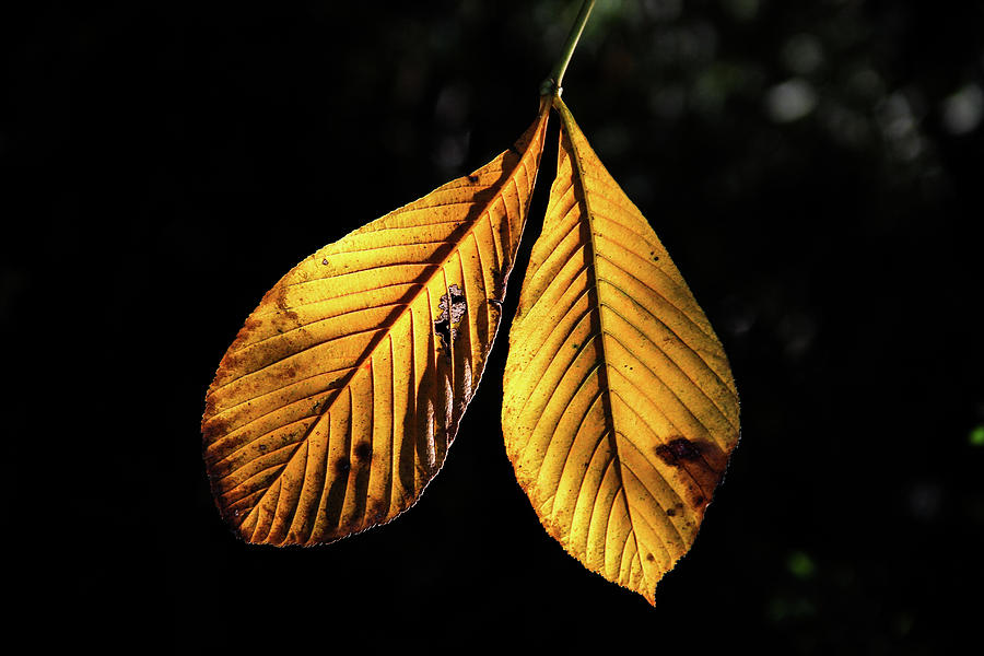 Golden Leaves by Kenneth F Konjevich