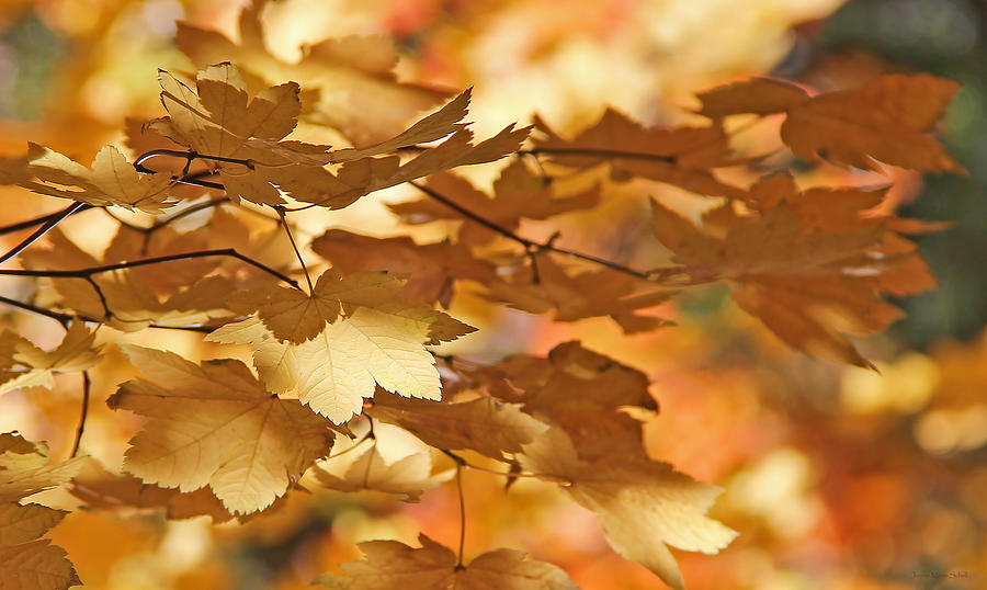 Leaf Photograph - Golden Light Autumn Maple Leaves by Jennie Marie Schell