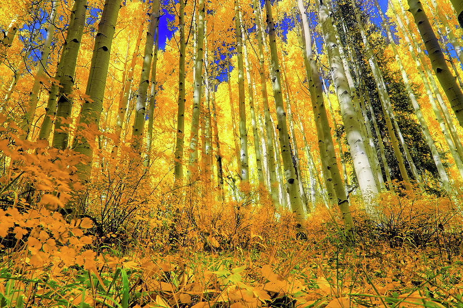 Colorful Colorado Photograph - Golden Light Of The Aspens - Colorful Colorado - Aspen Trees by Jason Politte