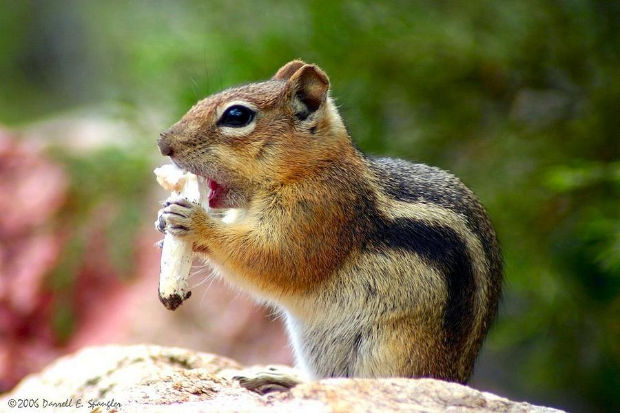 Squirrel Photograph - Golden-mantled Ground Squirrel by Perspective Imagery