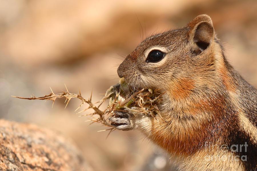 Squirrel Photograph - Golden-mantled Ground Squirrel Eating Prickly Spine by Max Allen