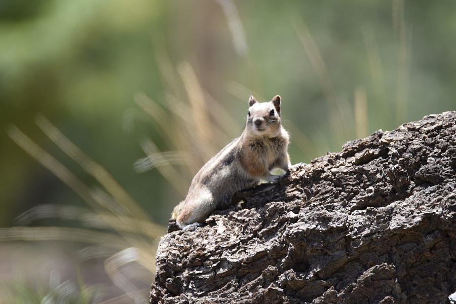 Golden Mantled Ground Squirrel by Margarethe Binkley