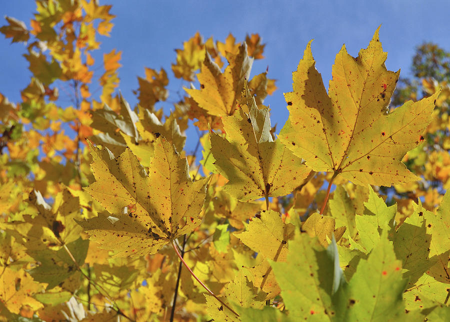 Fall Photograph - Golden Maple by JAMART Photography